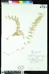 Selaginella myosurus image