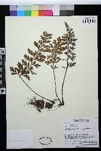 Asplenium praemorsum image