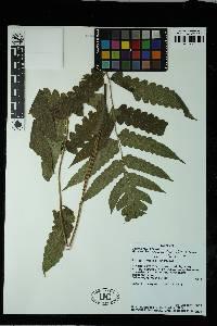 Blotiella reducta image