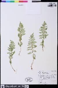 Athyrium distentifolium image