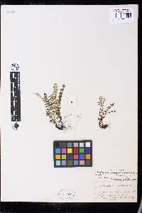 Asplenium vespertinum image