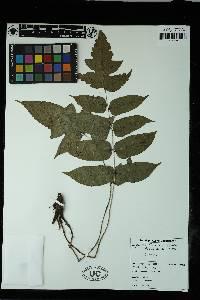 Image of Blotiella coursii