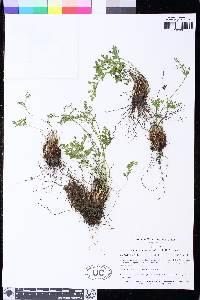 Cryptogramma cascadensis image