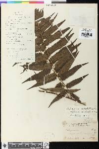 Diplazium latifolium image