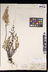 Pellaea calomelanos image