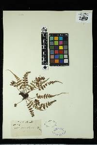 Asplenium pinnatifidum image