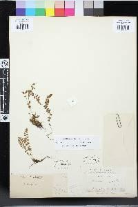 Woodsia glabella image