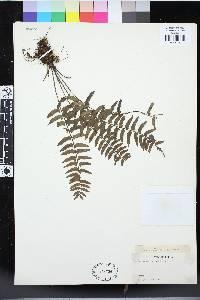 Asplenium barteri image